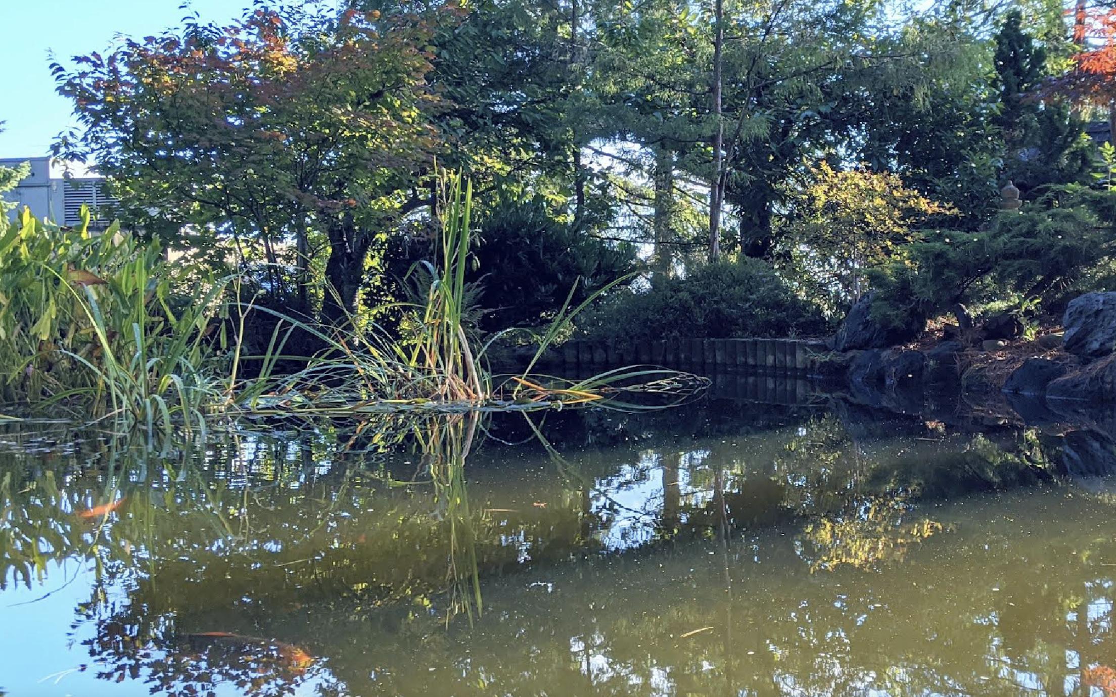 The Koi pond at VIU's nanaimo campus